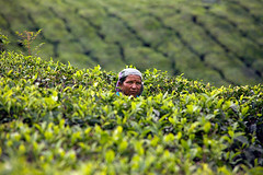 hard work at malaysian tea plantations, Cameron highlands (Igor Bilic) Tags: portrait woman plants green leaves work tea altitude indian hard documentary hills malaysia plantation fields worker nepalese tanahrata cameronhighlands hindu portret bushes ritratto humidity midlands grm lowincome grmlje igorbilic photographybohhigh