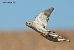 Snow buntings on the fly (Stuart G Wright Photography) Tags: snow bird birds g wildlife flight stuart wright bunting stuartgwrightcom