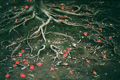 roots (kaori.ikt) Tags: film 50mm iso200 f14 camellia root primera  pentaxme perutz