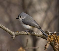 Tufted Titmouse (Diane G. Zooms) Tags: nature birds titmouse tuftedtitmouse wildbirds coth specanimal fantasticnature itsawonderfulworld 10nw coth5 5wonderwall sunrays5 freedomtosoarlevel1birdphotosonly