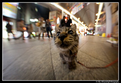 Cute Japanese pussy cat close up with Fish-eye on a leash! ;)) (Ilko Allexandroff (a.k.a. sir_sky)) Tags: cute japanese pussy cat close up closeup namba asian portrait leash fish eye fisheye sigma 8mm 5d sweet
