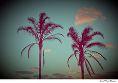 Palm (john white photos) Tags: sunset summer vintage square holga palmtrees