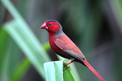 Crimson Finch Fogg Dam (Janis May) Tags: foggdam crimsonfinch