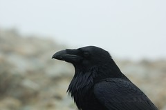 IMG_5504a (thumblengthlegs) Tags: lake bird district raven corvid