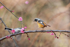 (tsuntsun3) Tags: pink winter flower bird japan tokyo superaplus aplusphoto ah5d21532
