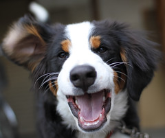 2 years ago (Takashi(aes256)) Tags: dog animal bernesemountaindog   sigma30mmf14exdchsm  canoneos7d