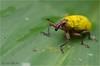 IMGP9951 (Jack O'Donate) Tags: coleoptera curculionidae tamronspaf90mmf28dimacro charençon routedelatrace pentaxk5 ileomus