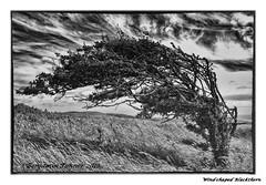 Blackthorn (frattonparker) Tags: sky tree monochrome clouds nikon zoom nikkor grassland isle vr englishchannel wight blackthorn lamanche 18200mm downland d40x nikefexpro capturenx2 silverefexpro2 btonner frattonparker