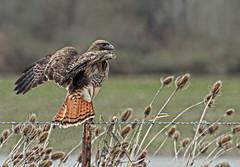Field Marshal (Team Hymas) Tags: vancouver washington hawk redtailed teamhymas hymasimages