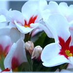 Sunday's Flowers white with red Heart for you thumbnail