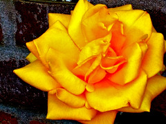 Yellow Rose :: Number 5202 (chicbee04) Tags: camera arizona usa playing apple rose yellow effects with image tucson software alhambra processing iphoto fx iphone4s