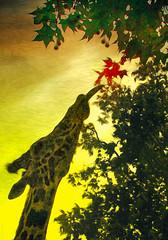 Red leaves taste better than green! (radonracer) Tags: giraffe pixelbender