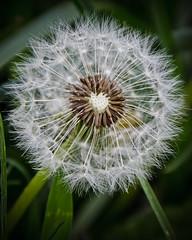 inside a dandelion (megscapturedtreasures) Tags: white plant flower macro green dandelion bloom growing soe whisps thechallengefactory thefactorychallenge