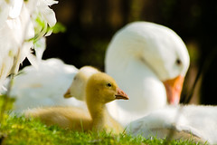 Life is Good (MatkirschPhoto) Tags: baby bird animal zoo spring goose gosling