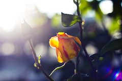 Turn your Faces to the Sun (redaleka) Tags: morning pink flowers light sun flower color green nature colors beauty leaves rose yellow garden leaf spring day branches peach sunny lensflare flare buds bud