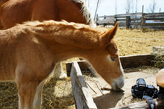 Naturally Curious (Roofer 1) Tags: newborn belgian colt workhorse foal