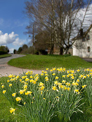 Daffodils arrive in Gloucestershire 2013 (Christopher Smith1) Tags: flowers grass vertical spring gloucestershire bream daffodils foreground forestofdean verge