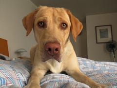 ojos miel [12/52] (jvcluis) Tags: cafe labrador perro ojos miel mascota pelo gaga nariz 52 proyecto bigote 1252