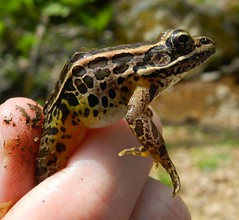 Pickerel Frog (lycaenidae_nm) Tags: pickerelfrog anura ranidae lithobatespalustris grichardthompsonwma