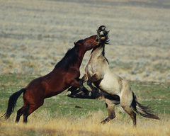 Battle (dustintillery) Tags: wild horse beautiful beauty utah fight wildlife free running run mustang majestic stud