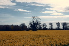 Rapeseed at Templerainey, Arklow, Co. Wicklow (murtphillips) Tags: arklow rapeseed cowicklow templerainey