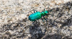 7K8A4511 (rpealit) Tags: nature scenery wildlife tiger beetle hatchery sixspotted pequest