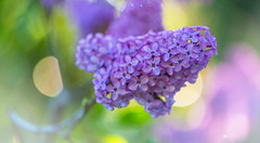 early Summer light (frederic.gombert) Tags: pink flowers light red plant flower color macro green colors purple blossom bokeh lilac bloom greatphotographers