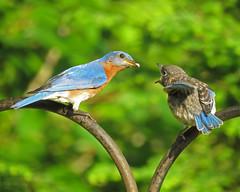 happy mother's day (mimbrava) Tags: mimbrava arr mothersday allrightsreserved easternbluebird sialiasialis thoughthewindow mimbravastudio mimeisenberg bluebirdfemalefeedingfledgling