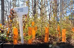 Future Forest (peterkelly) Tags: trees ontario canada tree burlington digital canon hamilton plug northamerica tray seedlings plugs seedling tamarack rbg royalbotanicalgardens 6d larixlaricina nativeplantsale davidbraleyandnancygordonrockgarden