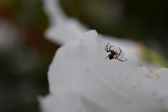 Spider on Flower: Depth of Field (ItsMeBjorn) Tags: park city urban london nature naturallight richmondpark londonpark outdoorlight nikond3300