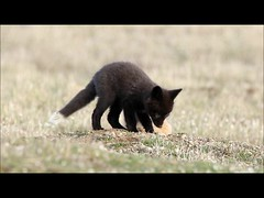 Baby Foxes Being Baby Foxes (T0nyJ0yce) Tags: wild baby playing cute nature animals cub wildlife adorable fox kit pup foxes silverfox redfox