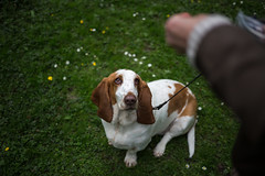 Eyes on the prize! (Michael Crookes) Tags: hound basset