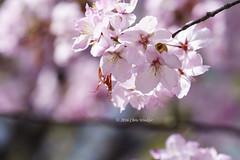Cherry Blossoms  (Alpha 2008) Tags: park blur flower macro tree nature japan cherry spring sapporo hokkaido dof blossom bokeh background sony   cherryblossom  sakura alpha          fullbloom       nakajimakoen