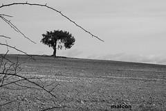 Como esos viejos rboles...batidos por el viento... (jm_alcon) Tags: espaa black byn blancoynegro landscape arbol spain bn sabina viejo sanblas tierra serenidad aragn juniperus secano barbecho laponiadelsur