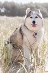 Dune huskyCoffs.jpg (tomorrowdog) Tags: dog cute beach husky elements siberian roxy coffs coffsharbour sibes roxythehusky roxyhusky