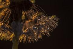 Dandelion after Rain (Klaus Ficker --Landscape and Nature Photographer--) Tags: macro water rain closeup canon drops dandelion eos5dmarkii kentuckyphotography tamron180mmmarco klausficker