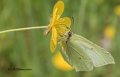 Citroenvlinder / Gonepteryx rhamni (m.ritmeester) Tags: groen ngc nederland natuur geel veluwe vlinders gelderland naturelovers citroenvlinder
