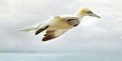Northern Gannet (Basstlpel) - Heligoland German archipelago (North Sea, Germany) (Christian_from_Berlin) Tags: sea bird germany island coast helgoland northerngannet heligoland