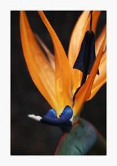 Ablaze (bnishimoto) Tags: flower color fuji bayarea fujifilm santanarow 60mm floraandfauna photoessay xt1 classicchrome ontherow