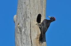 019-DSB_6872-2 - Picchio nero (r.zap) Tags: dryocopusmartius parcodelticino picchionero rzap