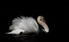 'Solitary Soul' (Jonathan Casey) Tags: swan nikon f2 vr 200mm d810