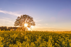 Rapeseed and the lonely tree (bhansen.kiel) Tags: blue sunset red sky sun color tree yellow canon germany sonnenuntergang rape gelb sunrays raps schleswigholstein rapeseed sunstar sonnenstern