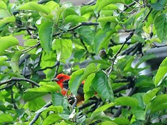 Scarlet Tanager DSC02856 (BayonneBirder) Tags: red black bird scarlet tanager