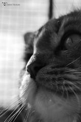 _DSC7716bw (chiaratrevisan68) Tags: cats sun nuvole cielo sole gatto domestici animali zampa siberiano