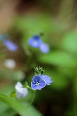 Rozrazil rezekvtek (Crones) Tags: flower macro nature canon czech sigma czechrepublic 6d karltejn 105mm sigma105mm centralbohemianregion canoneos6d