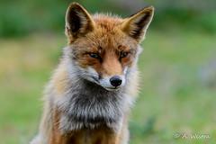Red fox (a3aanw) Tags: macro uitje amsterdamsewaterleidingduinen nikonclubnederland