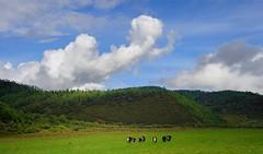 Domestic Yak called Dri, Tibet 2015 (reurinkjan) Tags: rhododendron fir larch spruce larix 2015 sangrila  coniferforests tibetanplateaubtogang hengduanmountains tibet natureofphenomenachoskyidbyings yakgyag cloudssprin landscapesceneryrichuyulljongsrichuynjong naturerangbyungrangjung landscapepictureyulljongsrimoynjongrimo landscapeyulljongsynjong raincloudscharsprin earthandwaternaturalenvironmentsachu tibetanlandscapepicture kham janreurink frombetweenthecloudstringyisepn  gyeltangcounty gyelthangteng plantsrtsishing abiesspectabilispinetreegsomshing quercusaquifolioides forrestshingldan forrestedareanagskhulnakkhl