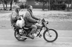 Tour de pig (KronaPhoto) Tags: bw bnw moped people street gatefoto mennesker kjrety vehicle drive pig gris animal transport dyr