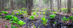 Le printemps fait un tabac du diable (Elf-8) Tags: fern green forest spring pond swamp marsh refelction