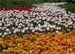 tuips - 4686 (DASA Images) Tags: flowers ontario canada ottawa tulipfestival 2016